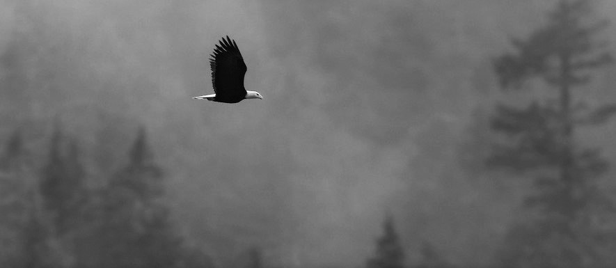 A bald eagle (Haliaeetus leucocephalus) flies over the foggy Squamish River Valley near Brackendale, British Columbia, Canada. Hundreds of bald eagles winter along the river to feast on spawning salmon.